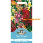 102468 Antirrhinum Snappy Tongue