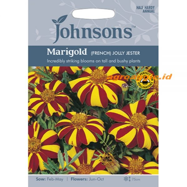 121322 Marigold French Jolly Jester